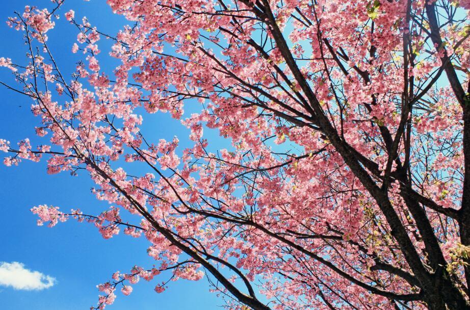 又是一个樱花季