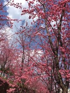 大理大学樱花盛开