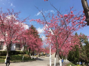 大理大学的樱花