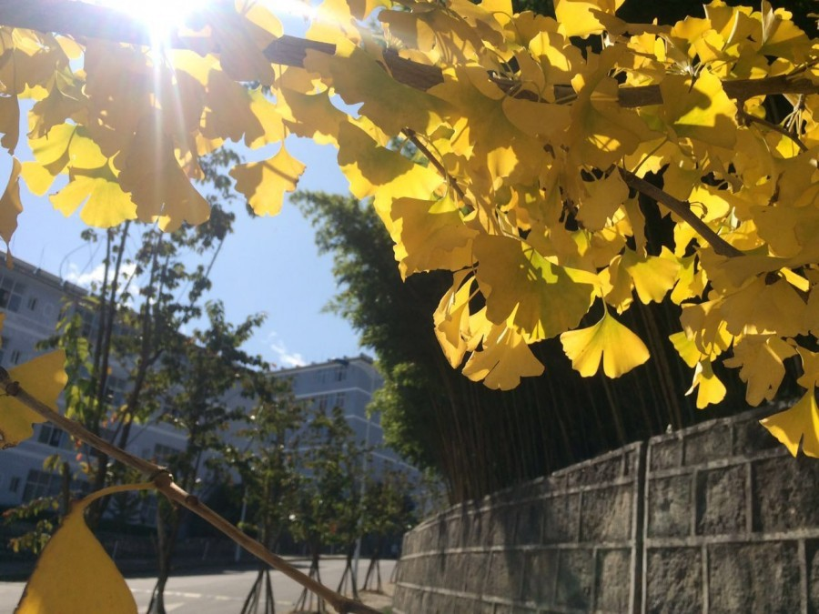 大理银杏叶黄