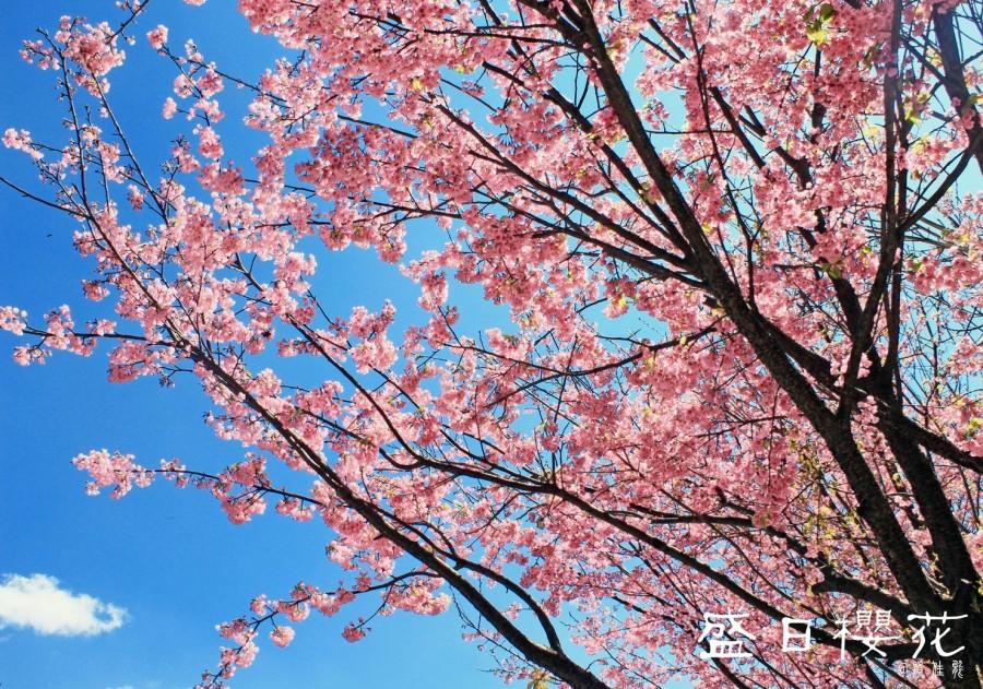 横5寸盛日樱花