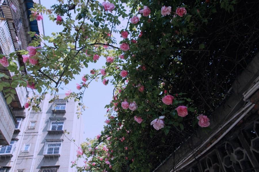单位蔷薇花开