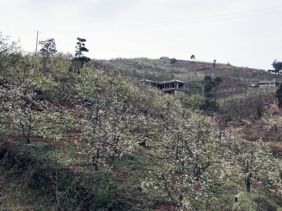 巍山马鞍山的梨花