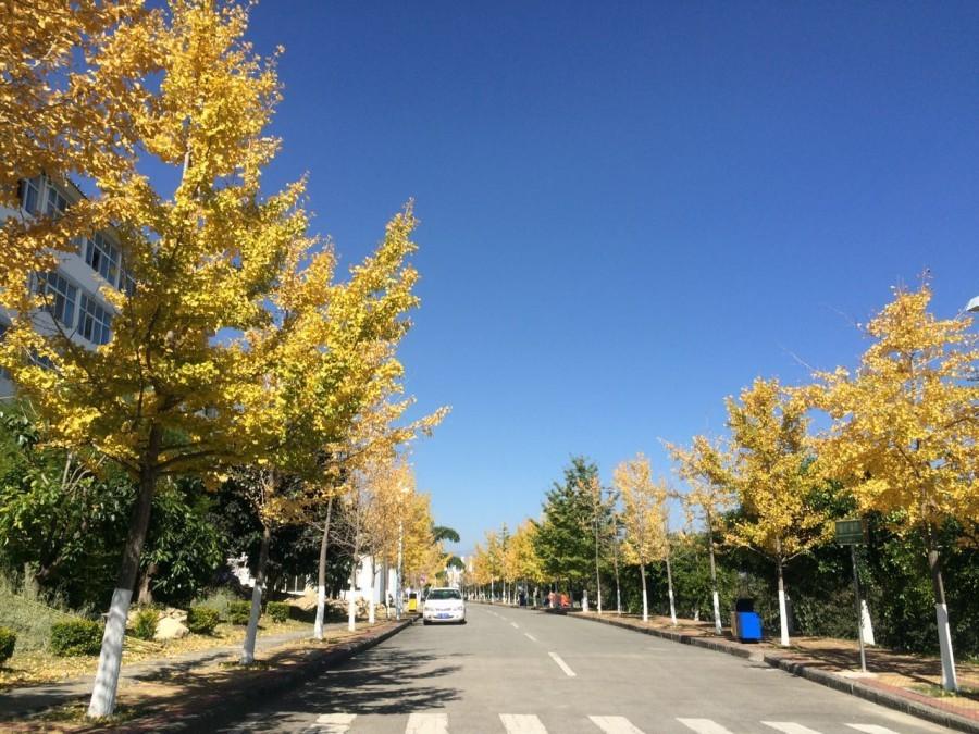 大理大学的银杏大道