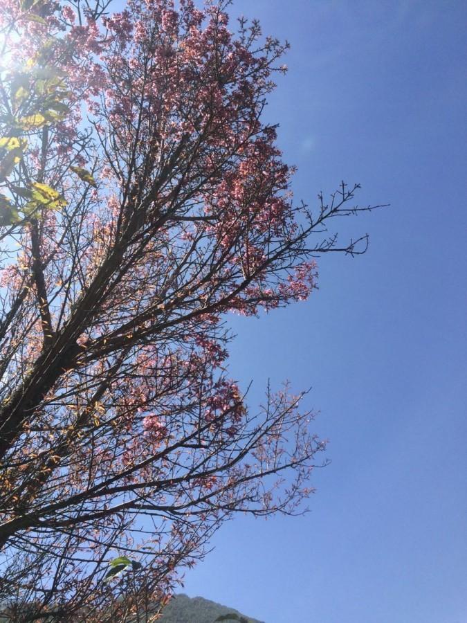 大理学院早开的樱花