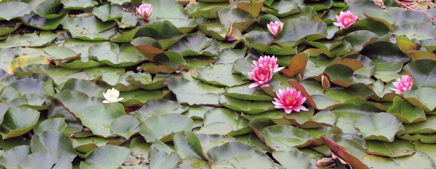 大理西湖的莲花